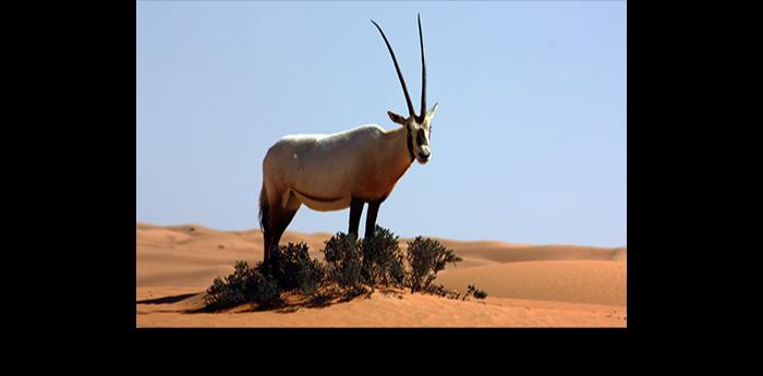 L'oryx est l'animal le plus adaptée au manque d'eau. Il est le seul animal qui n'a pas besoin de boire