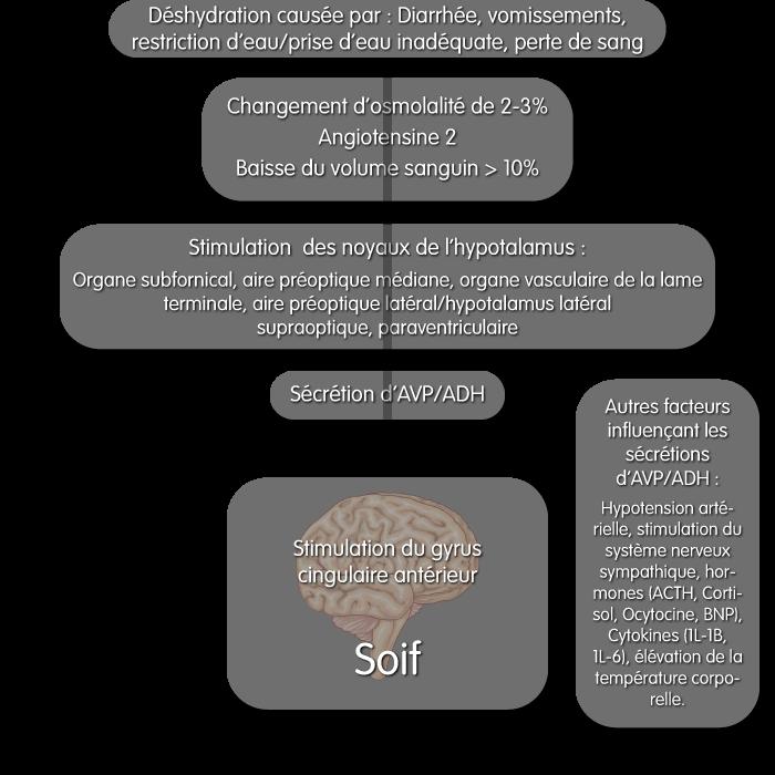 Régulation de la soif : Déshydration causée par une diarrhée, vomissements, restriction d'eau/prise d'eau inadéquate, ou une perte de sang. Si cette déshydratation entraine un changement d'osmolalité de 2-3%, une production d'angiotensine 2, et une baisse du volume sanguin supérieur à 10% qui stimulerons les noyaux suivants de l'hypotalamus : Organe subfornical, aire préoptique médiane, organe vasculaire de la lame terminale, aire préoptique latéral/hypotalamus latéral supraoptique, paraventriculaire. Cela va provoquer une sécrétion d'AVP/ADF qui va provoquer la sensation de soif. D'autres facteurs influencent les sécrétions d'AVP/ADH : Hypotension artérielle, stimulation du système nerveux sympathique, hormones (ACTH, Cortisol, Ocytocine, BNP), Cytokines (1L-1B, 1L-6), élévation de la température corporelle.