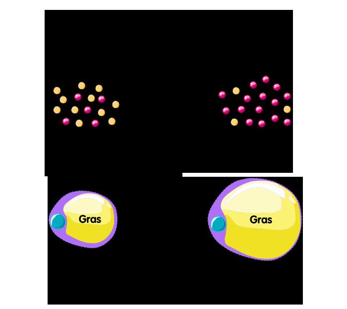 Après la stérilisation, les œstrogènes et la testostérone inhibent moins la LPL ce qui favorise le stockage du gras dans les cellules adipeuses.