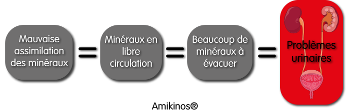 Mauvaise assimilation des minéraux = Minéraux en libre circulation = Beaucoup de minéraux à évacuer = Problèmes urinaires