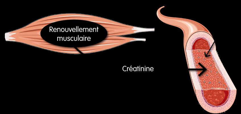 Le rounevellement musculaire provoque une production de créatinine qui se retourve dans le sang et qui est évacué par les reins