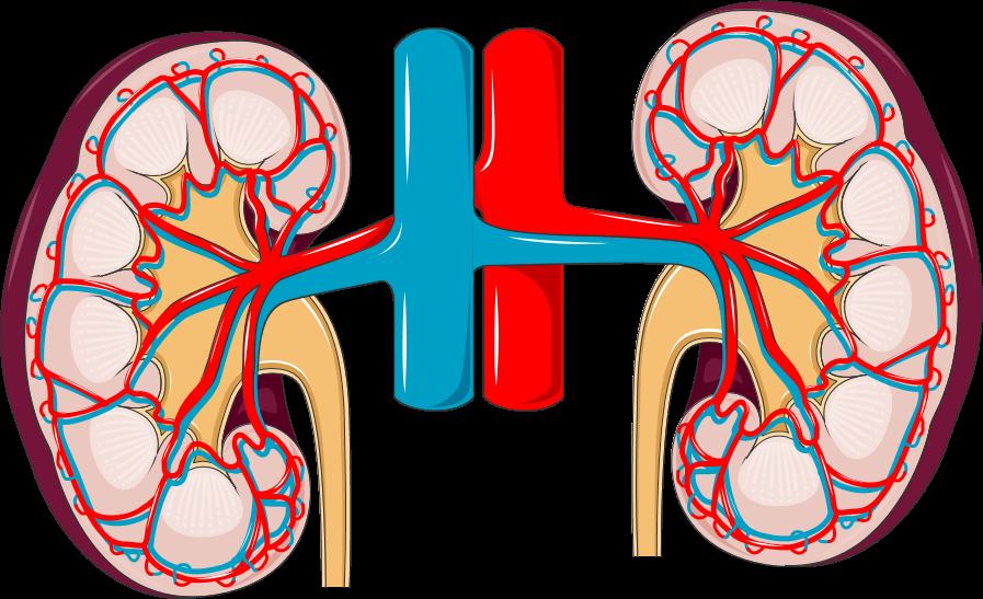Illustration du système sanguin rénale